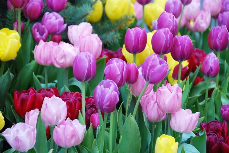 Hoa-Tulip-Ha-Lan-Dep-3