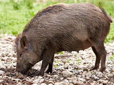 Nằm mơ nhìn thấy lợn rừng báo hiệu điều gì