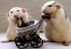 Giải mã giấc mơ thấy chuột - Nằm mơ thấy chuột