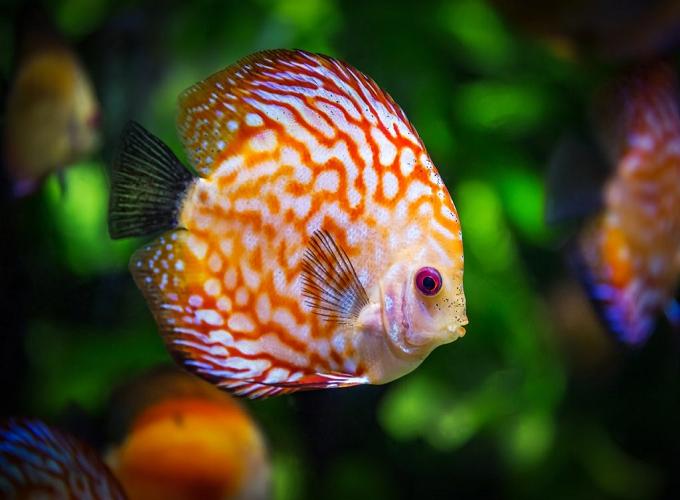 Mơ thấy cá gửi tới điềm báo gì? Gợi ý những con số may mắn nào?