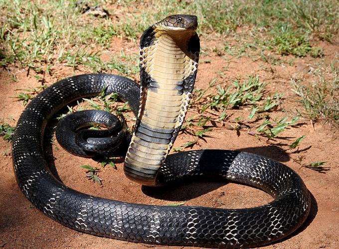 Mơ thấy rắn hổ mang dự báo điềm gì? Gợi ý những con số may mắn nào?