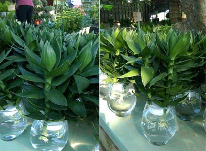 Cách trồng và chăm sóc cây phát lộc trong nhà giúp nạp khí