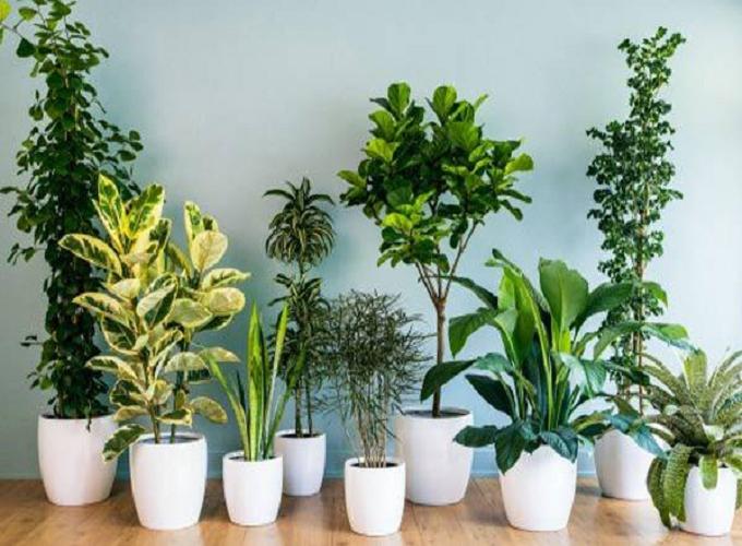 Những loại cây tài lộc nên đặt trong nhà giúp chiêu tài, nạp khí