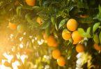 Mơ thấy quả cam điềm lành hay điềm giữ