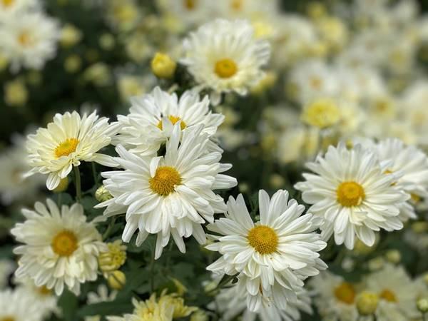 Mơ thấy hoa cúc là điềm gì? Thử vận may với cặp số tài lộc nào?