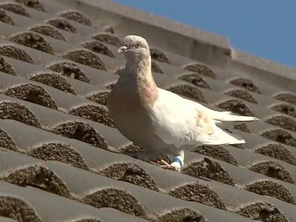 Mơ thấy chim bồ câu đánh liền tay cặp số nào đổi đời?