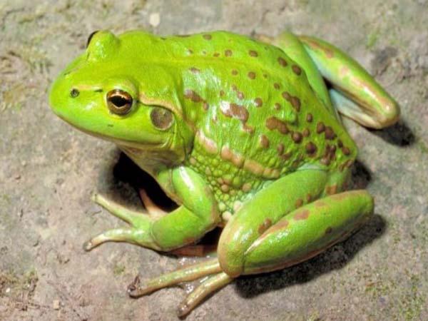 Nằm mơ thấy ếch đánh con gì, có ý nghĩa điềm báo gì