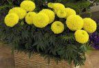 Mơ thấy hoa vạn thọ điềm tốt hay xấu?