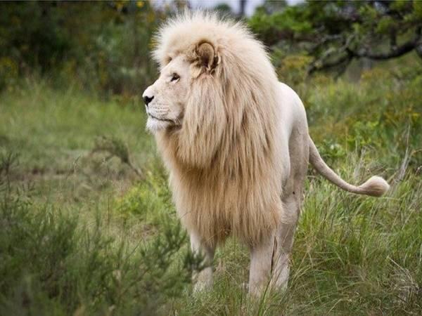 Mơ thấy sư tử đề về bao nhiêu? Là điềm dữ hay lành