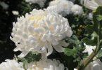 Mơ thấy hoa màu trắng điềm báo gì đánh số gì thì may mắn