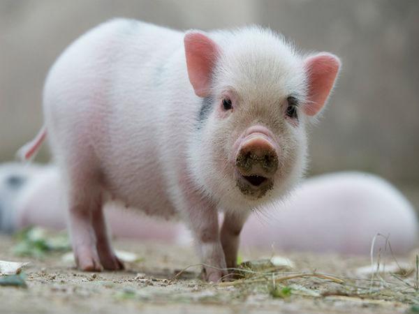 Nằm mơ thấy lợn chết đánh con gì ăn chắc, có điềm báo gì